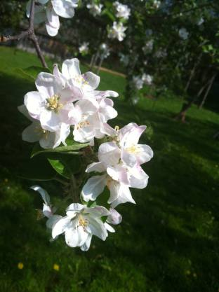 Apple blossoms at Black Creek...goodness, I love May.